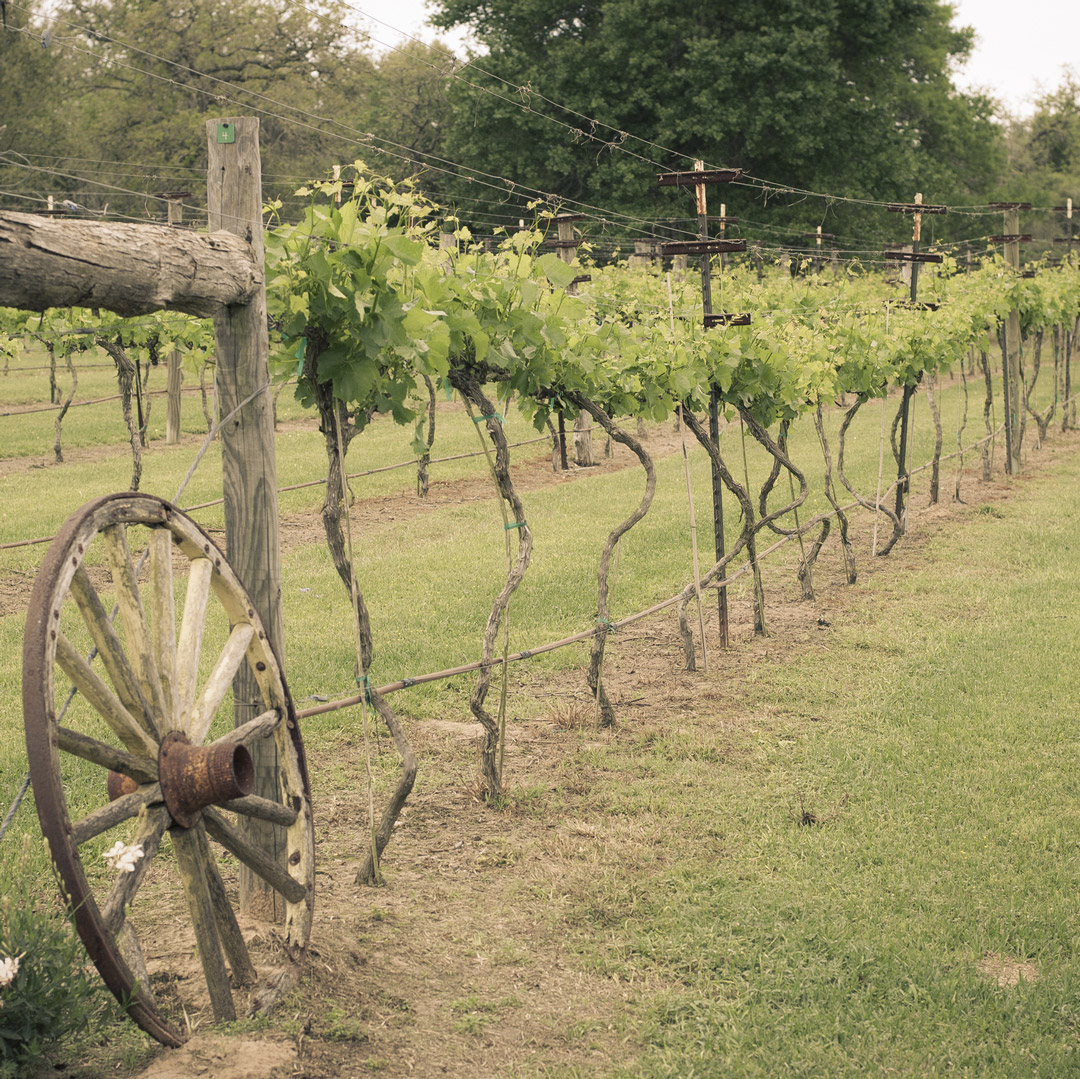 wagon wheel propped near grapevines