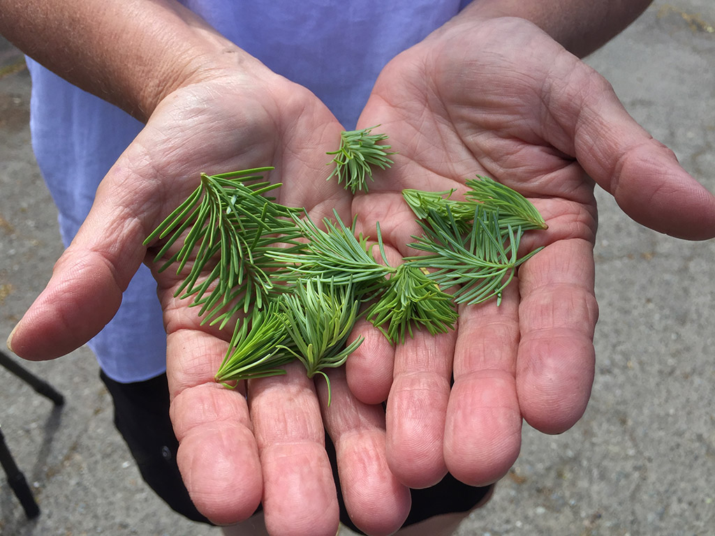 two hands with fir tips in the palms