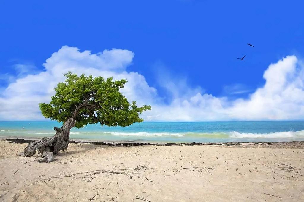 divi tree on Eagle Beach, Aruba