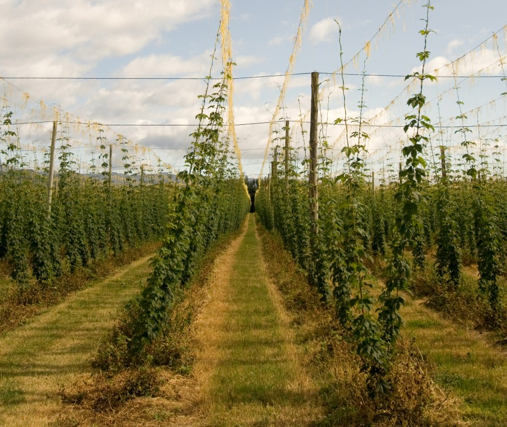 Hops field in New Zealand