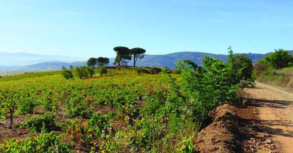 countryside full of vineyards