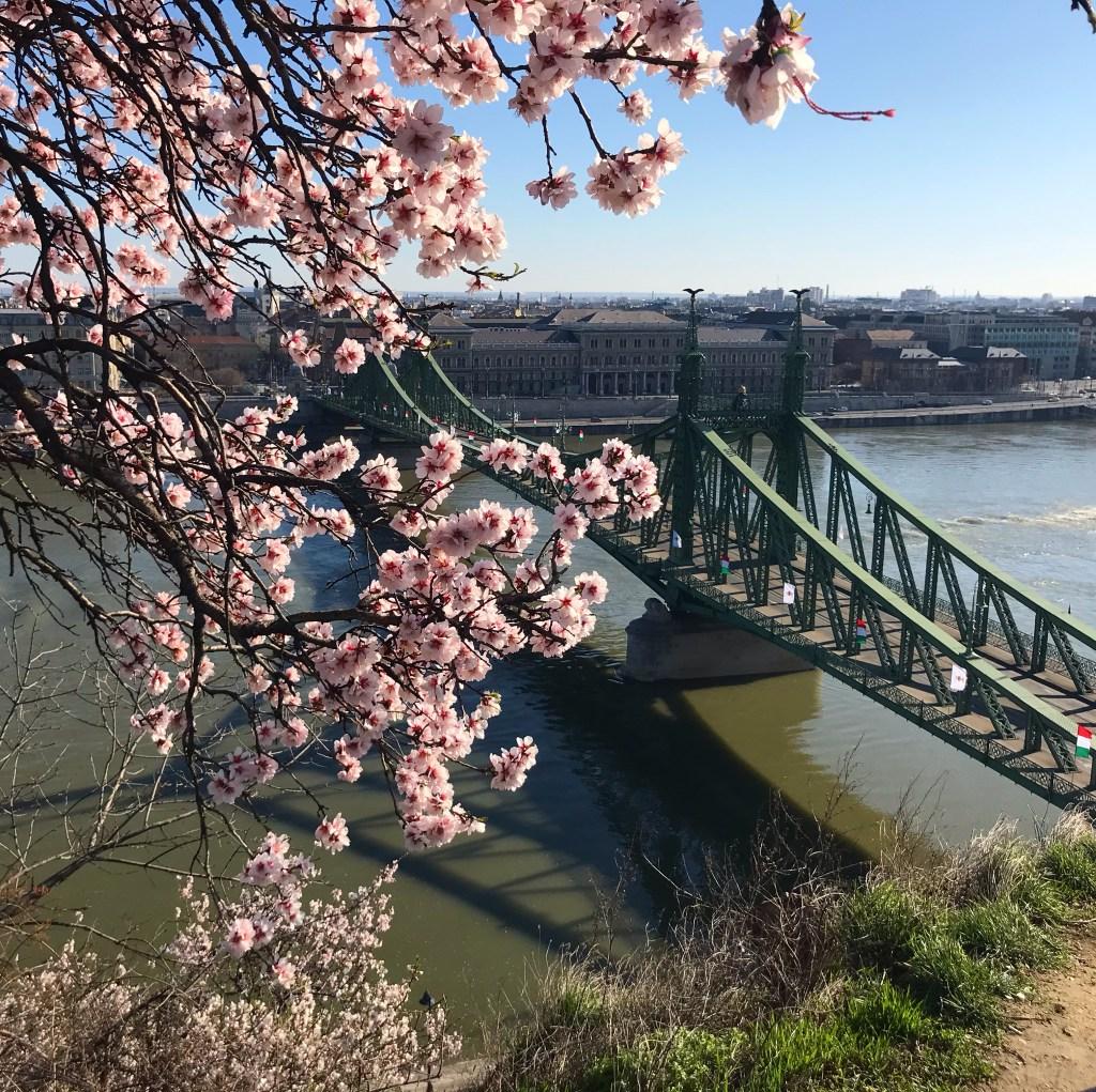 Almond blossoms on Gellert Hill