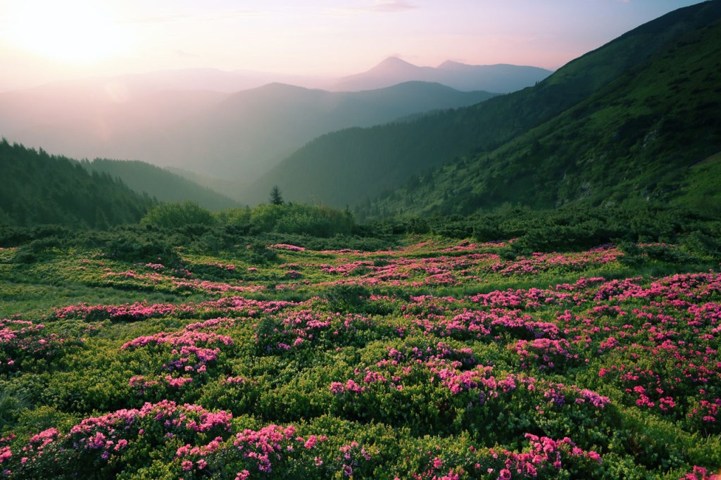 pink wildflowers in a foggy morning at sunset.