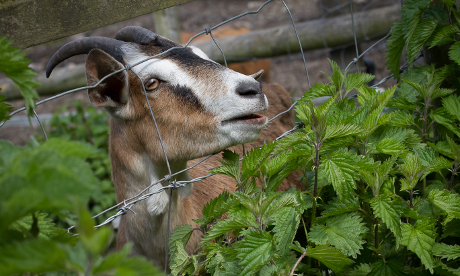 Goat meat 009