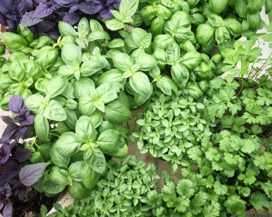 Basilic, coraindre, aromatique, bio, brest, st renan, hadenn