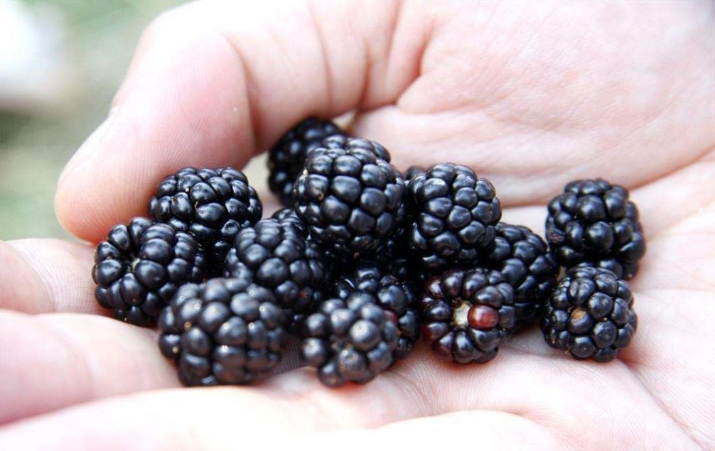 Supercritical CO2 extraction of blackberry seed oil