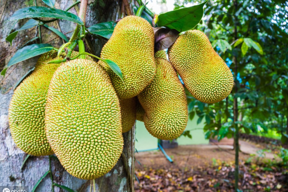 Supercritical CO2 extraction of polyphenols from jackfruit seeds