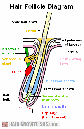 skin layers diagram labeled simple federal signal wig wag wiring hair structure diagrams and function of the shaft follicle