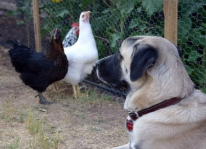 Dog to Guard Chickens