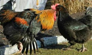 Chicken Do A Dance When Mating