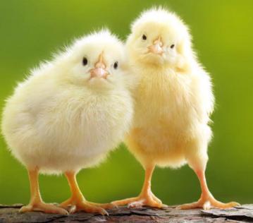 Chicks Can Not Swim