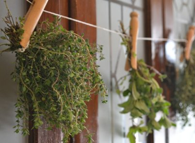 Hang oregano leaves