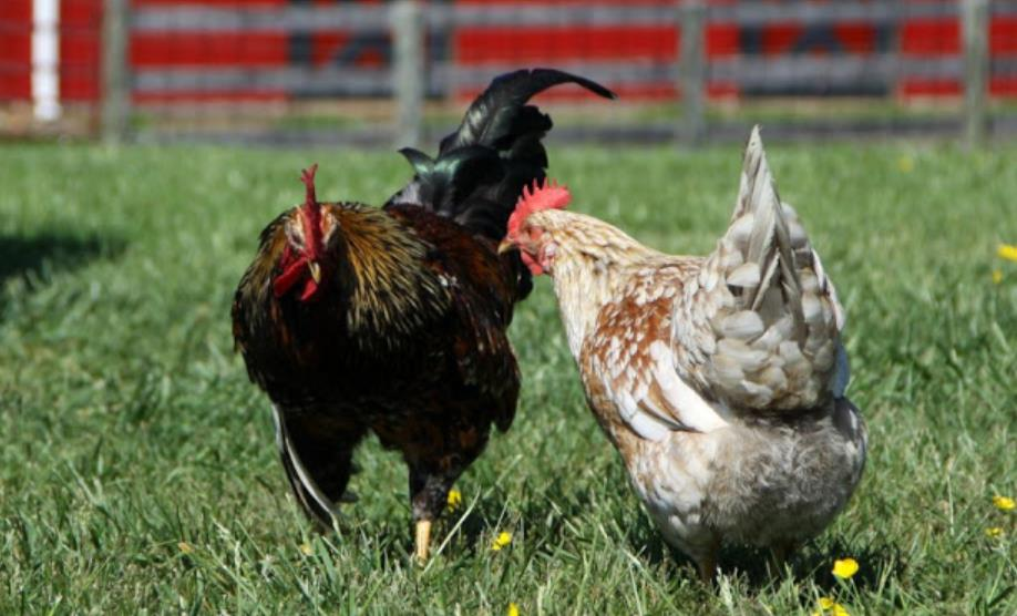 mating invitations chicken sounds