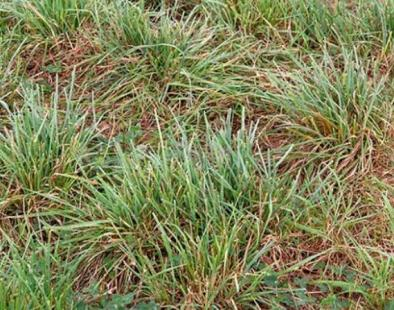 What Do Sheep Eat: Orchardgrass