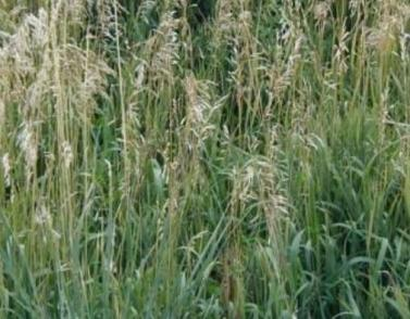 What Do Sheep Eat: Smooth Bromegrass