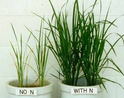 nitrogen deficiency in plants