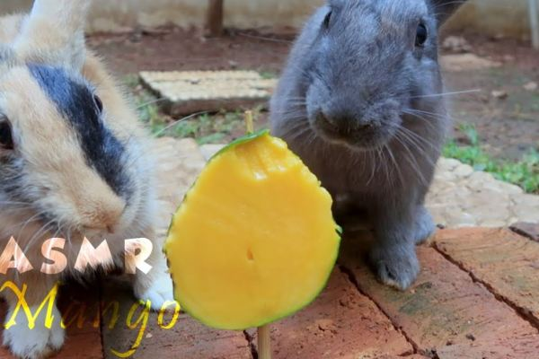 Can Rabbits Eat Mango