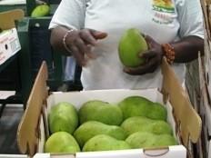 Haïti - Économie : Deux nouveaux centres de collectes de mangues