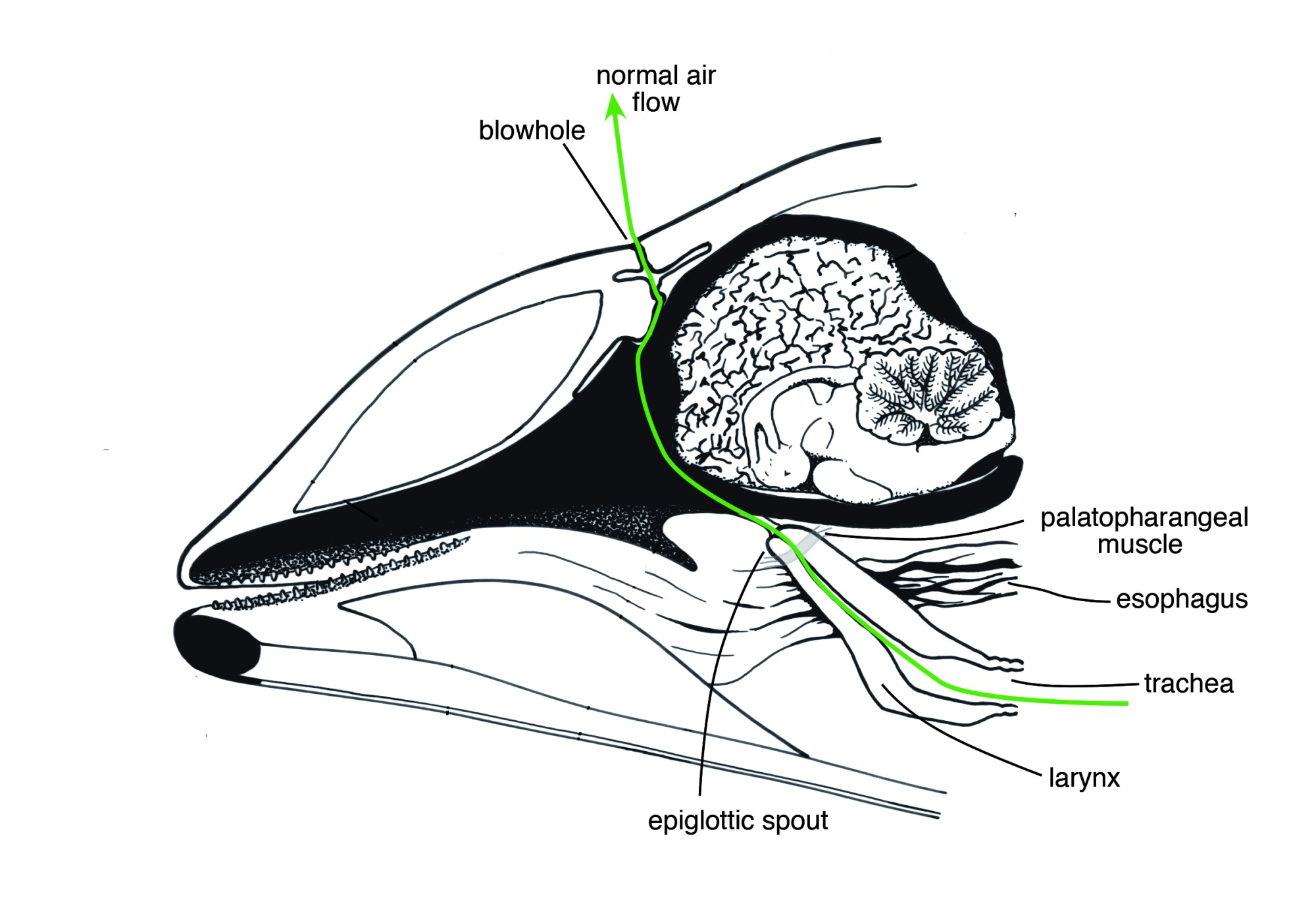 hight resolution of in their normal physiology shown above air flows between a dolphin s lungs and its blowhole in the mouth breathing dolphin the scientists suspect that
