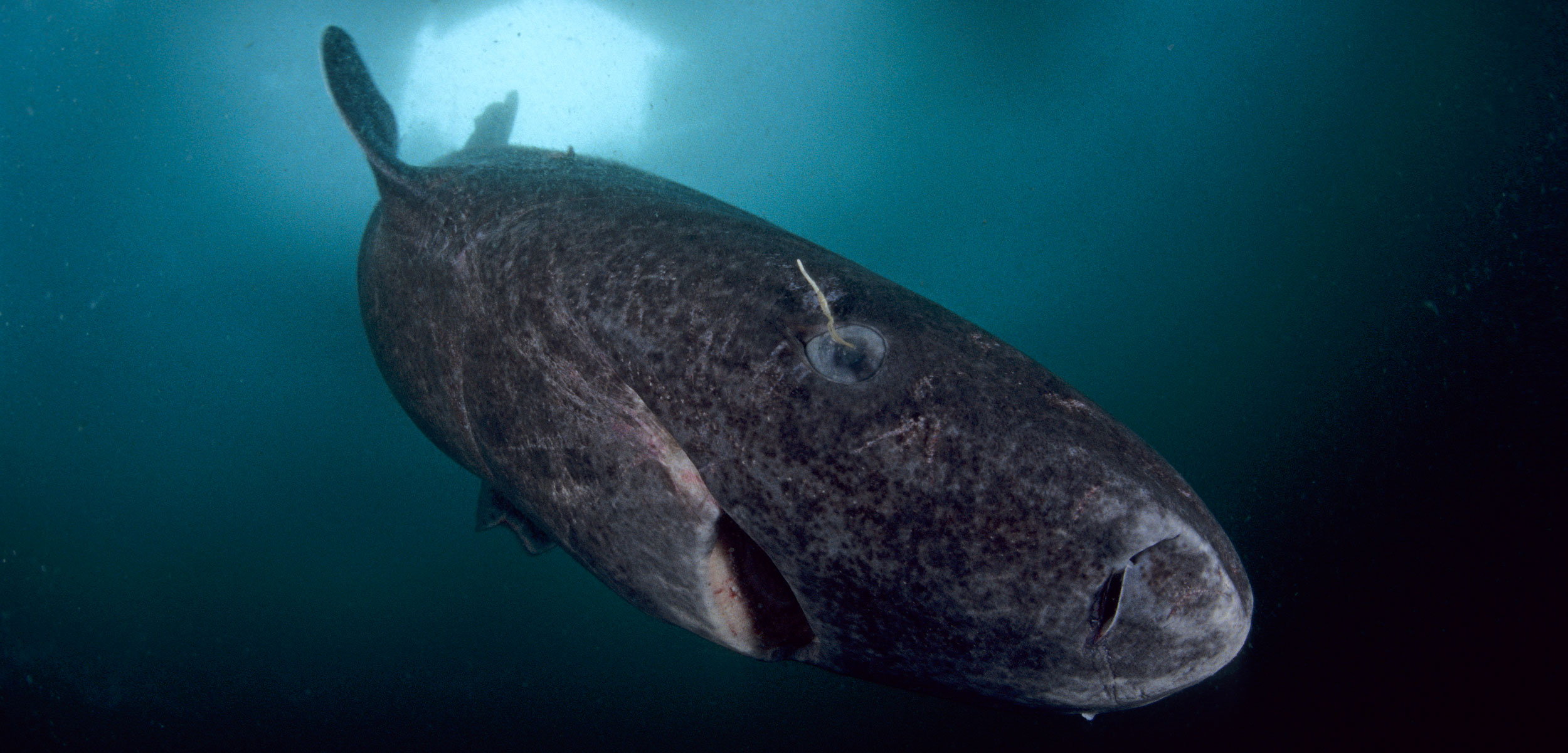 Greenland Sharks Undeterred by SharkRepelling Hooks