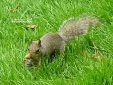 Wiewiórka | St. James's Park, Londyn, Wielka Brytania