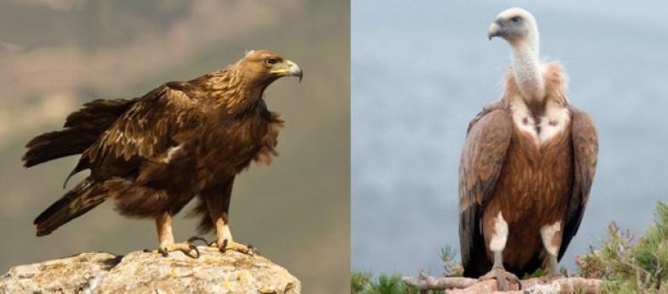 Águila real (izqda) y Buitre leonado (dcha) [*]