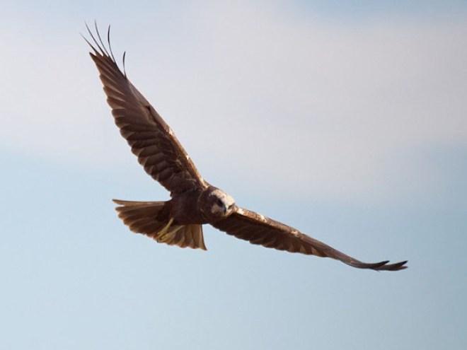 La estructura de alas estilizadas con cola larga y marcas blancas identifica a los laguneros