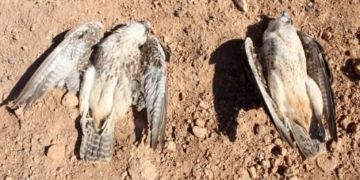 Aves rapaces electrocutadas al Norte de África. Foto cedida por C. Machado y A. Godino