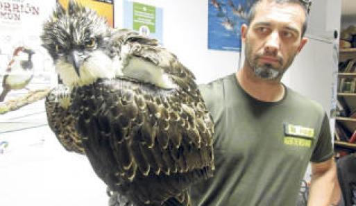 Un agente de Medio Ambiente sostiene al águila pescadora rescatada. J.M.L.R.