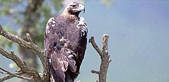 Imagen de un águila imperial ibérica. / Martín Simón