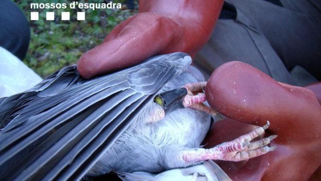 Una de las palomas utilizadas para atraer rapaces MOSSOS D'ESQUADRA