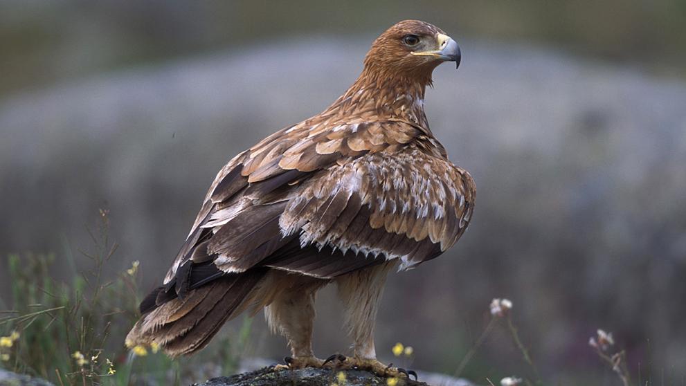 Águila imperial y otras aves rapaces sortean las carreteras ruidosas