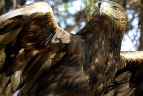 Un ejemplar de águila real.Efe