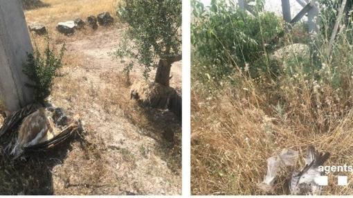Los ejemplares encontrados muertos son dos buitres, tres águilas ratoneras y tres cernícalos
