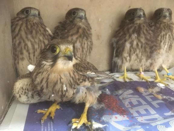 La madre -en primer plano- junto a sus cuatro polluelos. / Pascual Calabuig