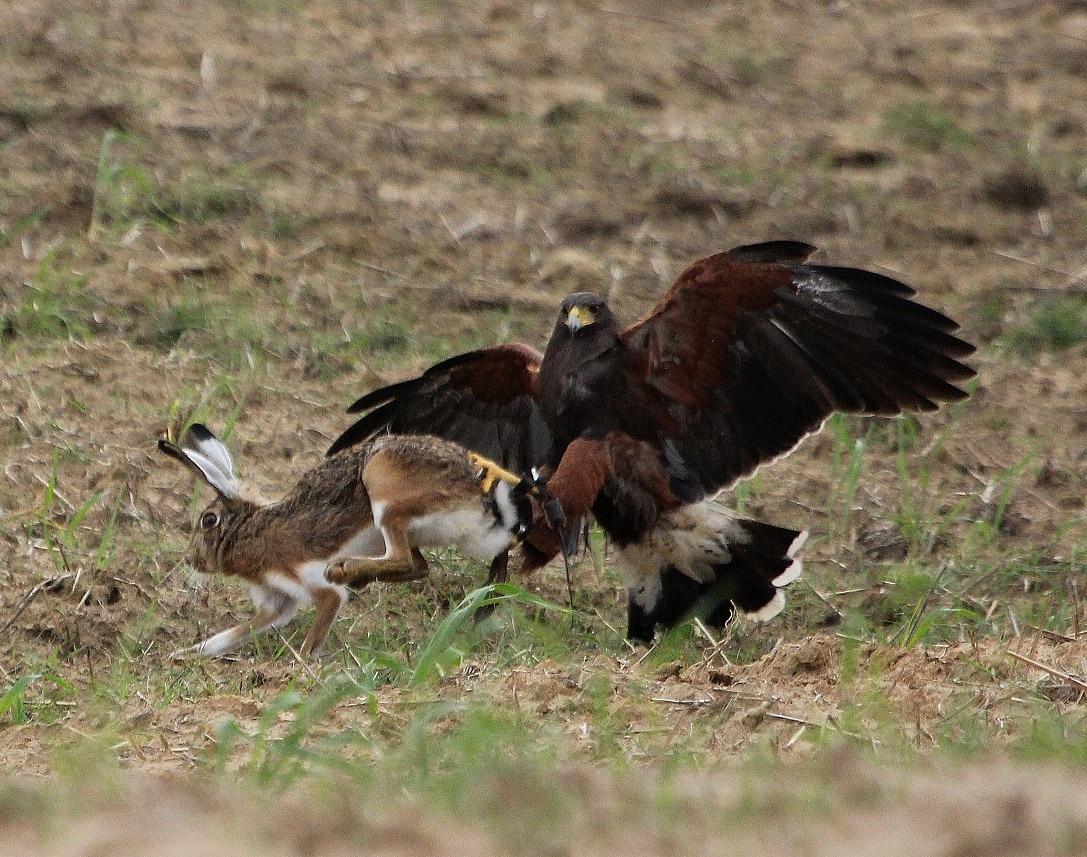 Águila Harris: características, habitat, cuidados y más (parte 3)