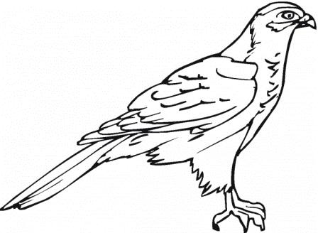 Dibujos de halcones » HALCONPEDIA
