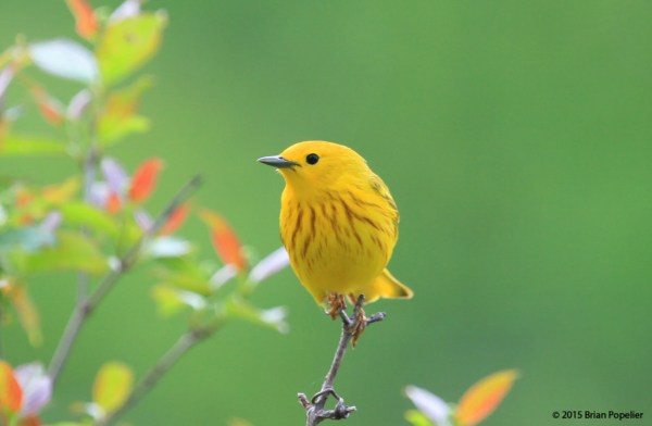 A Yellow Warbler sings cheerfully during the wondrous spring months