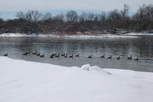 Ducks swim in a row along the snowy banks of the Grand River