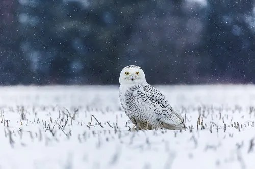 A snow owl watched the camera with polite interest in a snowy field