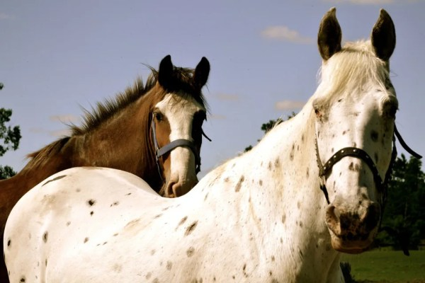 A white and brown horse.
