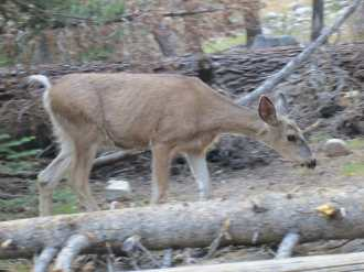 PCT Deer