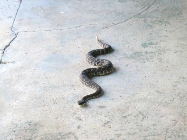 2 Rattle Snake