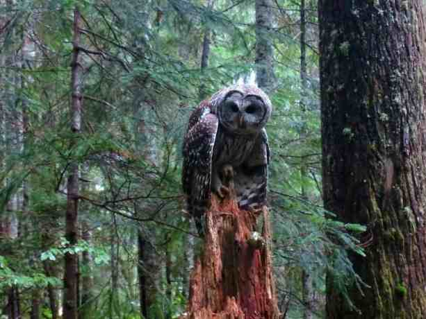 7 A Barred Owl