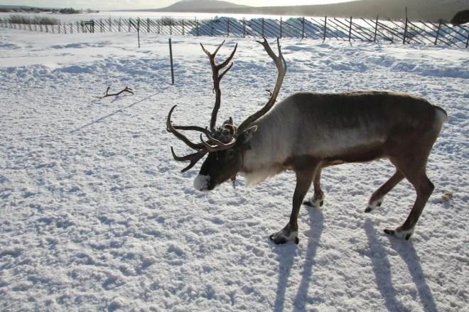 Sweden Reindeer 1