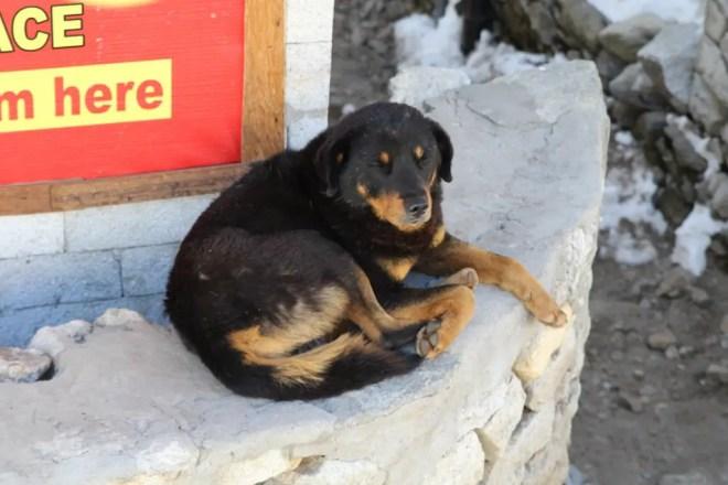 Everest Base Camp Dog 1