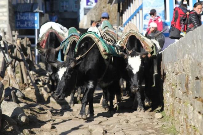 Yaks In Phakding