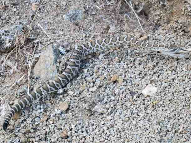 Pacific Crest Trail Death Rattle Snake Desert