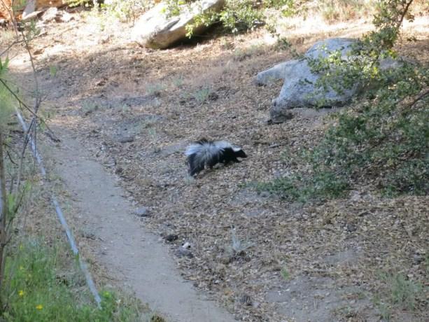Pacific Crest Trail Desert Skunk