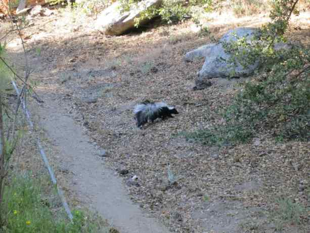 Pacific Crest Trail Desert Skunk